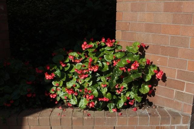 9 – Close-up petunias.