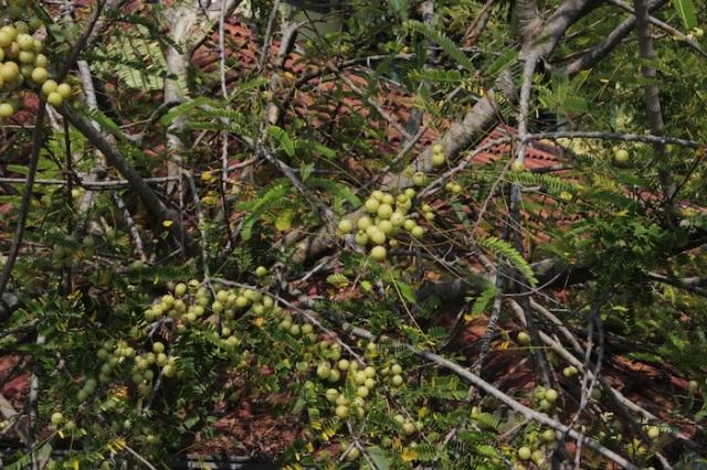 Fruits of the Malacca Tree