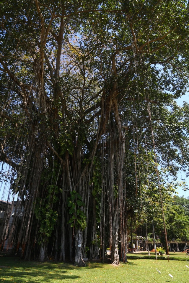 13 - Banyan Tree on National Museum grounds