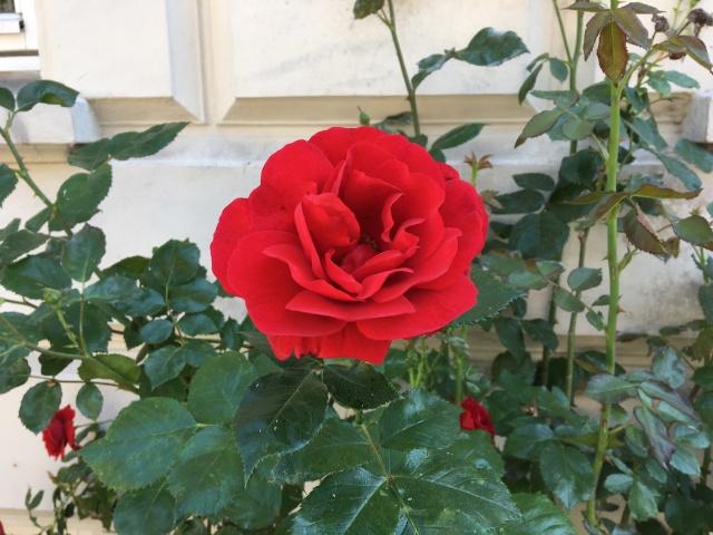 12 - Rose Copenhagen