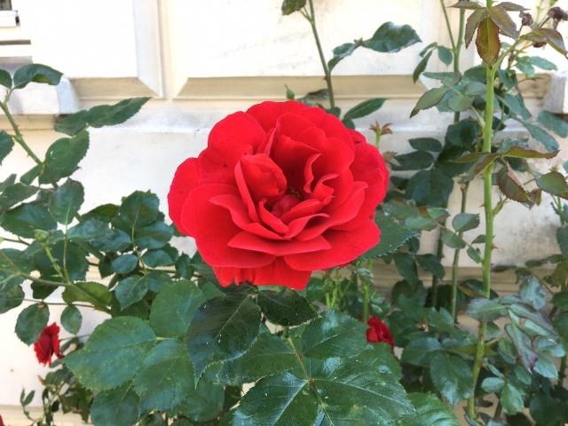 1 - Roses